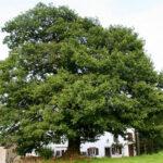 El genoma del roble revela el secreto de los árboles