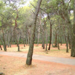 La sequía en España podría cambiar el ritmo de crecimiento de los pinos.